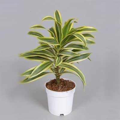 Комнатное растение - цветы Драцена Сонг