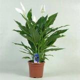 Комнатное растение - цветы Спацифилум