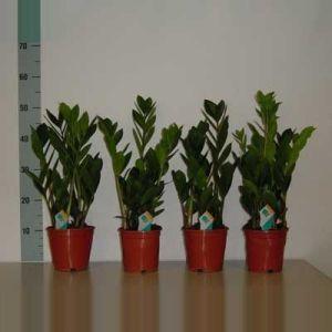 Комнатные растения - цветы Замиакулкос