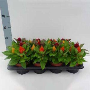 Комнатные растения - цветы Целозия