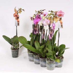 Комнатные растения - цветы Фаленопсис Микс