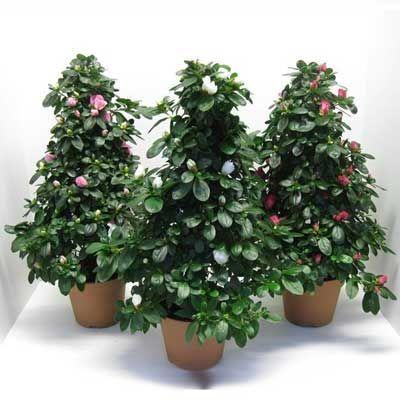 Комнатные растения - цветы Азалия