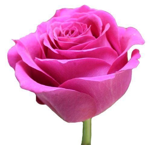 """Роза """"Пинк флойд"""" 80 см."""