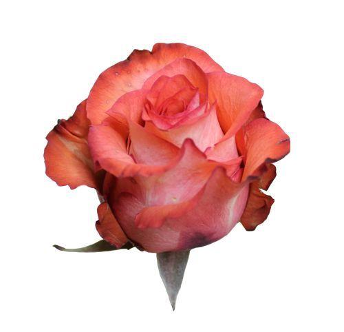 """Роза """"Луиза"""" 60 см."""