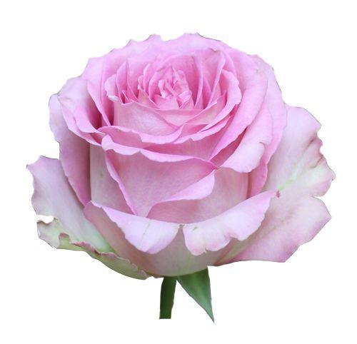 """Роза """"Свисс Юнион"""" 80 см."""