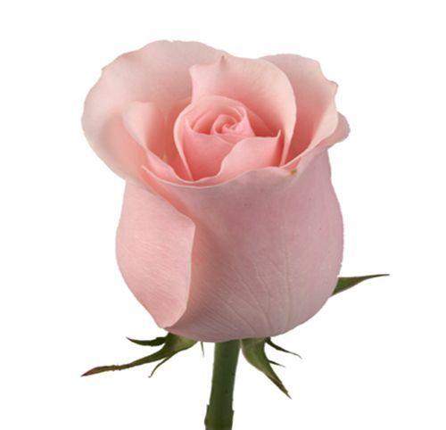 """Роза """"Титаник"""" 50 см."""