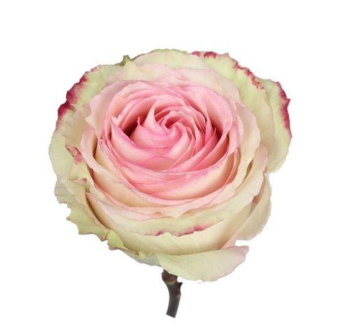"""Роза """"Эсперансо"""" 40 см."""