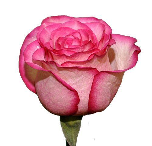 """Розы """"Карусель"""" 40 см."""