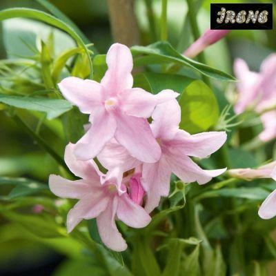 Жасмин розовый