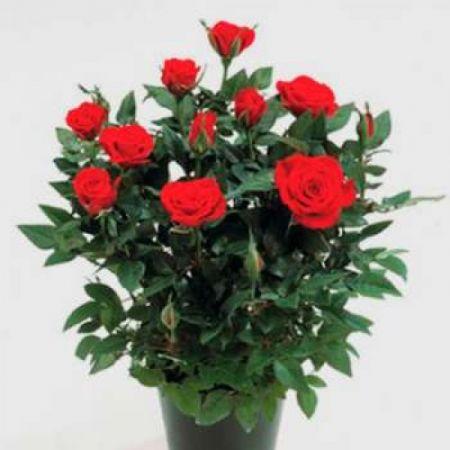 Роза микс 2
