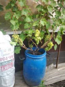 Виноград в бочках плодоносящий