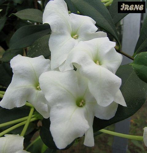 Brunfelsia Nitida или Брунфельсия Блестящая
