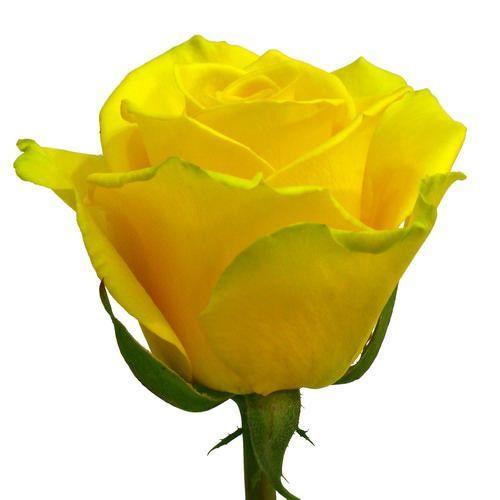 """Роза """"Мохана""""  70  см."""