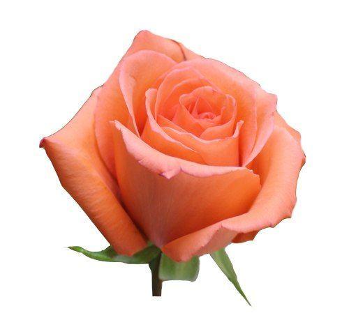 """Роза """"Мови Стар"""" 70 см."""