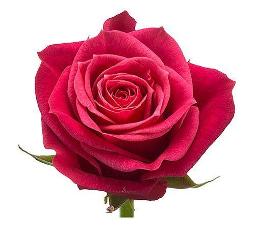 """Роза """"Черри О"""" 80 см."""