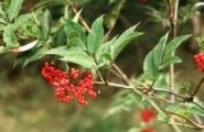 КОФЕ РЕЙСМОЗА (Coffea racemosa )  10 семян