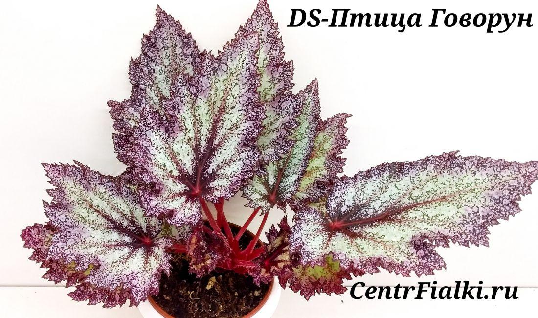 Begonia DS-Птица-Говорун