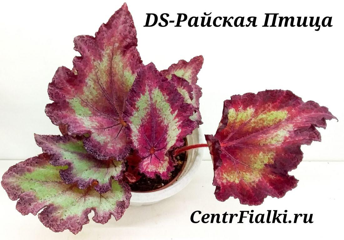 Begonia DS-Райская Птица