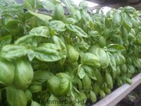 Базилик зеленый ароматный / 100 гр