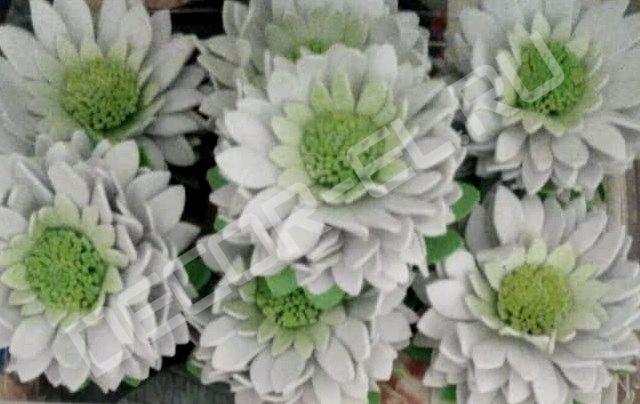 Хризантема декоративная (от 5 см до 10 см)