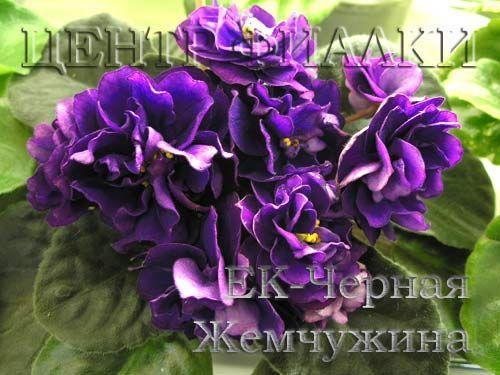 ЕК-Черная Жемчужина (Е.Коршунова)