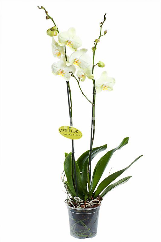 Фаленопсис Бело-желтый