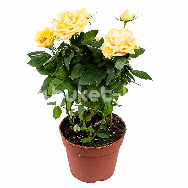 Роза Патио Жёлтая