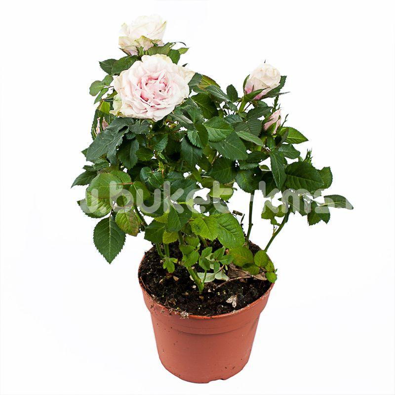 Роза Патио Белая