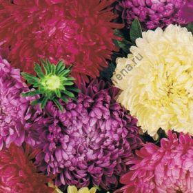 "Астра сорт  ""ПИОНОВЫЙ МИКС"" (Paeoniaeflora)   270 семян"