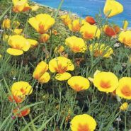 "Эшшольция сорт  ""ЖЁЛТЫЙ"" (Eschscholzia Slaapmutsje) 650 семян"