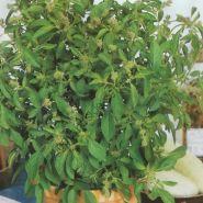 """Базилик  сорт """"ЦИТРУСОВЫЙ"""" (Basilicum citroen)   1.5 гр.  1000 семян"""