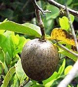 "Аннона  сорт ""ГОЛАЯ"" (Annona glabra)   10 семян"
