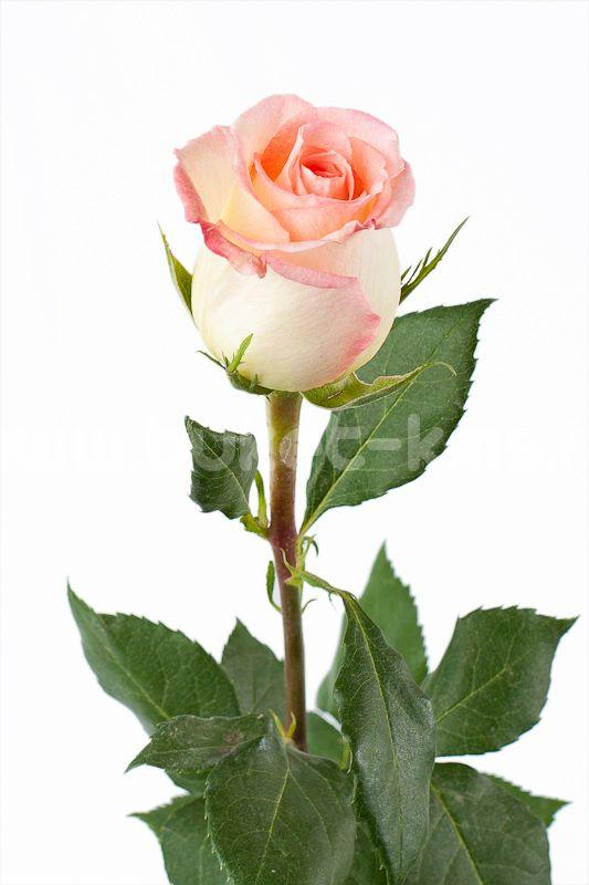 """Роза """"Дуэт"""""""
