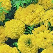 """Бархатцы  сорт """"ЖЁЛТЫЙ ВЕРХОВНЫЙ""""  (Yellow Supreme)  150 семян"""