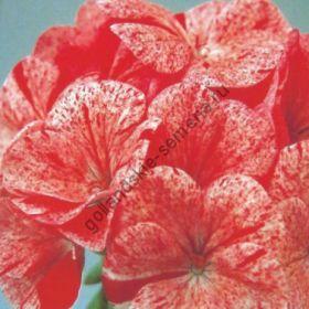 "Пеларгония сорт ""МАЛИНОВАЯ РЯБЬ Ф1""( Raspberry Ripple F1) 12 семян"