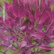 """Клеома сорт """"ФИОЛЕТОВАЯ КОРОЛЕВА""""(Violet Queen) 180 семян"""