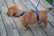 Поводок для тренировки собак