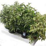 Комнатные растения - цветы Фикус Микс