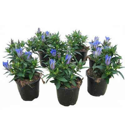 Комнатные растения - цветы Гентиана