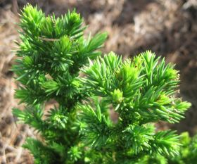 """Криптомерия """"Японская"""" (Cryptomeria japonica) 10 семян"""
