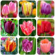 Семена тюльпанов, смесь цветов, 100 шт.