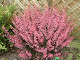 Барбарис тунберга Пинк Квин (Berberis thunbergii Pink Queen)
