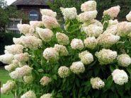 "Гортензия метельчатая ""Грандифлора"" (Hydrangea paniculata ""Grandiflora"")"
