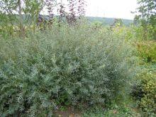 Ива пурпурная Грацилис (Salix purpurea Gracilis)