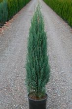 Можжевельник скальный Блу Эрро (Juniperus scopulorum Blue Arrow)