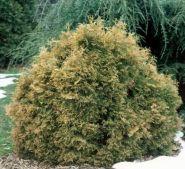 Туя западная Эрикоидес (Thuja occidentalis Ericoides)