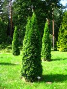 Туя западная Смарагд (Thuja occidentalis Smaragd)