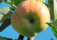 Яблоня традиционная Конфетное