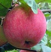 Яблоня традиционная Августа