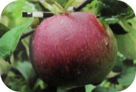 Яблоня традиционная Желанное